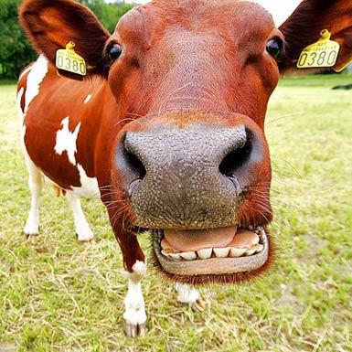 Cow in Southwest Virginia